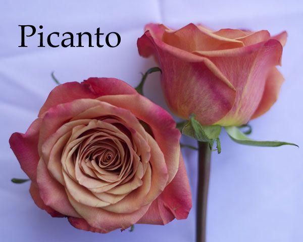 Flirty Fleurs Orange Rose Color Study. Picanto Orange Rose