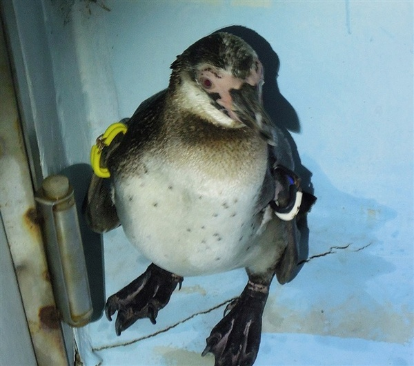 Tokyo Sea Life Park's escaped Humboldt penguin, known only as Number 337, finally returned to home after two months roaming free in Tokyo Bay.