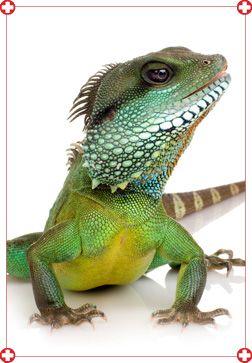 Guide d'information pour comprendre et soigner vos reptiles et autres animaux exotiques. Les espèces exotiques que nous soignons fréquemment :Iguane vert, gecko, uromastyx, dragon barbu, dragon d'eau, anole, caméléon, varan, serpent des blés, boa, python, tortue.