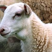 """A Katahdin sheep with throat swelling called a """"milk goiter"""".  It is common in hair sheep lambs and ewes, and sometimes in goats.  A British study (with goats) determined milk goiter to be an enlargement of the thymus gland.  It's not considered a problem and shouldn't be misdiagnosed as goiter, """"bottle jaw"""", or an abscess.  It seems to be most common in well-nourished, good-performing lambs and ewes.  Photo courtesy of Susan Schoenian on her blog """"The Baalands""""."""