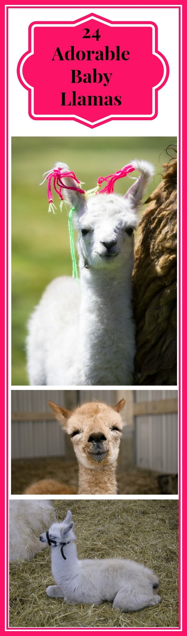 What could be cuter than a bunch of baby llamas and alpacas? I went and found some for you. I also found a couple of interesting baby llama facts. Did you know that a baby llama is called a cria? I didn't! I also found that llamas often hum, both when content and when under…