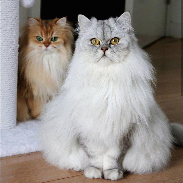 Pin By Ljiljana Mijuskovic On Macke Cute Cats Beautiful Cats Cute Cats And Kittens
