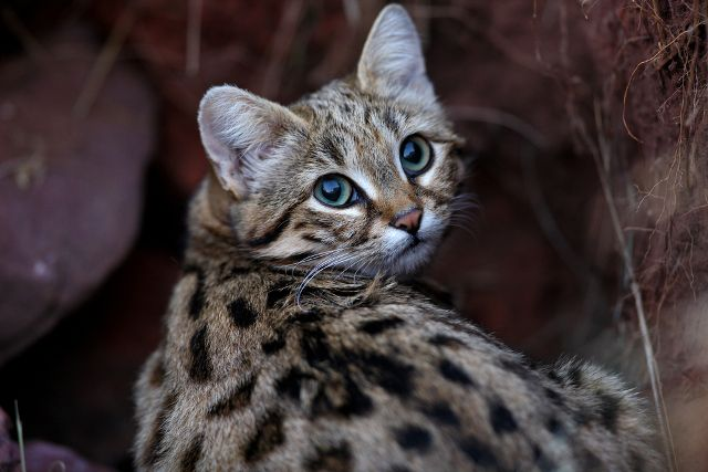 Black-footed cat  The animal gets its name from the black pads on the undersides of its feet. These cats tend to like living in the open savanna, but they are rarely seen, as they are completely nocturnal. Fortunately, hunting is currently banned, and the cat has been on the vulnerable list since 2002. (Shutterstock)