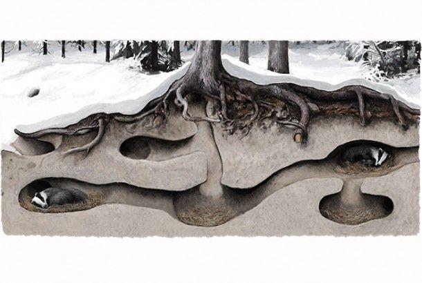 Karvanaamojen talvi: Mäyrän talvinen kommuunielämä | Suomen Luonto