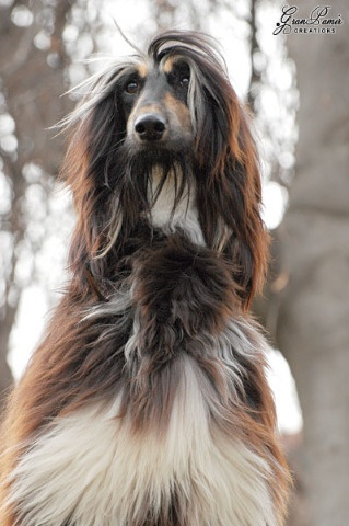Beautiful Afghan Hound.