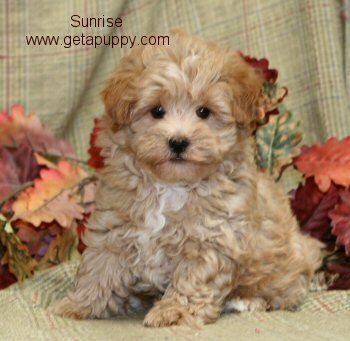 Is the Maltese puppy I bought full bred or did this breeder rip me off?
