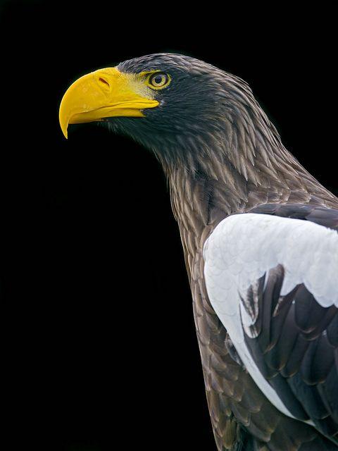 thepredatorblog:Stellers sea eagle (by Tambako the Jaguar)