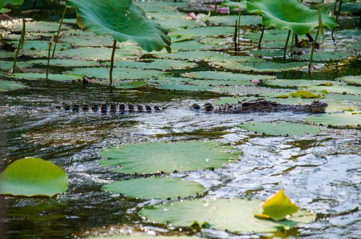 A Kakadu National Park croc