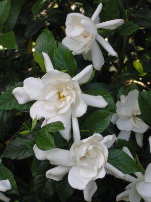 gardenia..incredibly fragrant! A must in my garden..