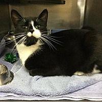 Martinsburg, West Virginia - Domestic Shorthair. Meet Crunch, a for adoption. https://www.adoptapet.com/pet/20897162-martinsburg-west-virginia-cat