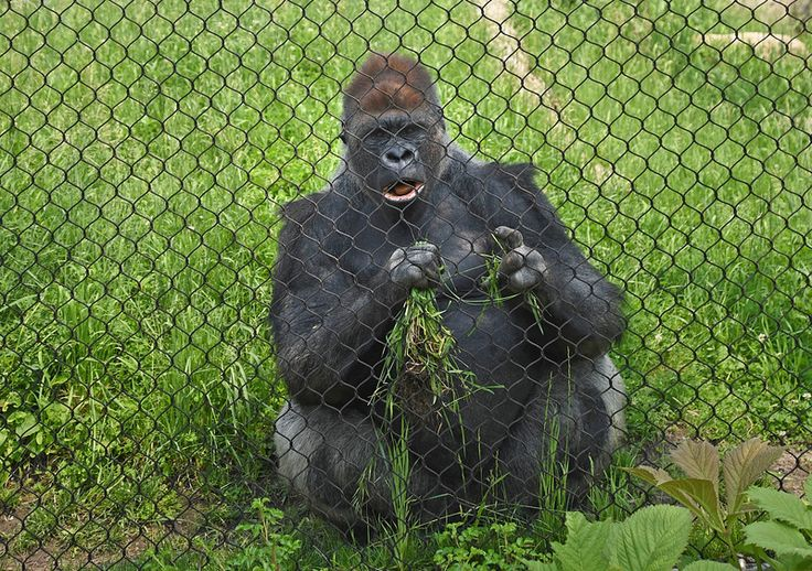 Schroeder, the largest gorilla at Como Zoo, weighing 525 pounds,  munches on grass in the meshed gorilla area.  (Pioneer Press: Holly Peterson)
