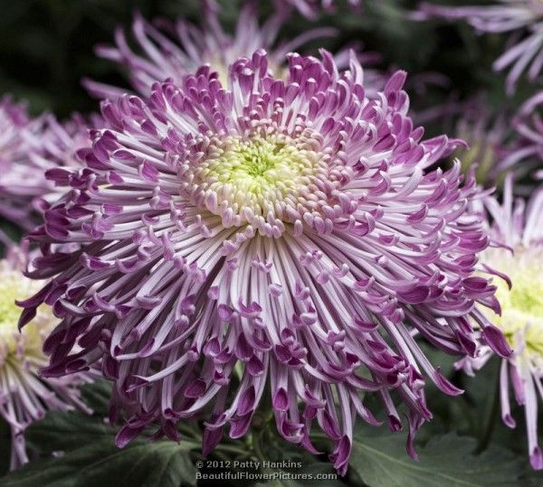 Purple Spider Mum  © 2012 Patty Hankins  Mums are heavily fragrant in the leaves and stems as well as the flowers.  The scent is sort of spicy with a sweet undertone.