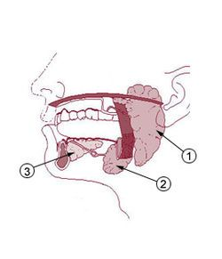 The parotid gland is a salivary gland in humans. It is one of a pair, and the largest of the salivary glands. It is wrapped around the mandibular ramus, and secretes saliva through Stensen's ducts into the oral cavity, to facilitate mastication and swallowing and to begin the digestion of starches