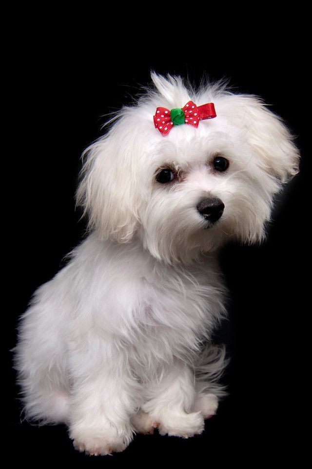 cute maltese haircuts 336 best maltese dogs images on adorable 4082 | 00078c17bf6aac8dd9acaec78cea8c0b maltese haircut maltese puppies