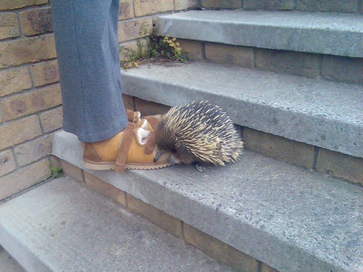 An echidna came to visit my friend, Kay, Melbourne outer east, Victoria