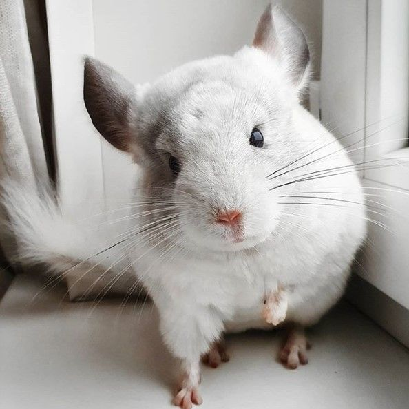 16 Best Chinchilla Facts That Make Them The Best Pets Petpress In 2020 Chinchilla Cute Chinchilla Facts Cute Little Animals