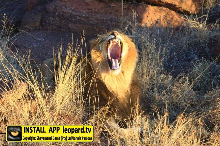 What do you think Shumba is shouting? COMMENT your best Caption! Want to see more? #leopardtv #lions