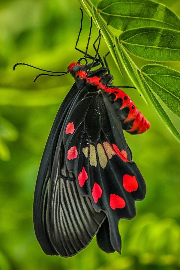 Mariposa Magnífica Negra y Roja