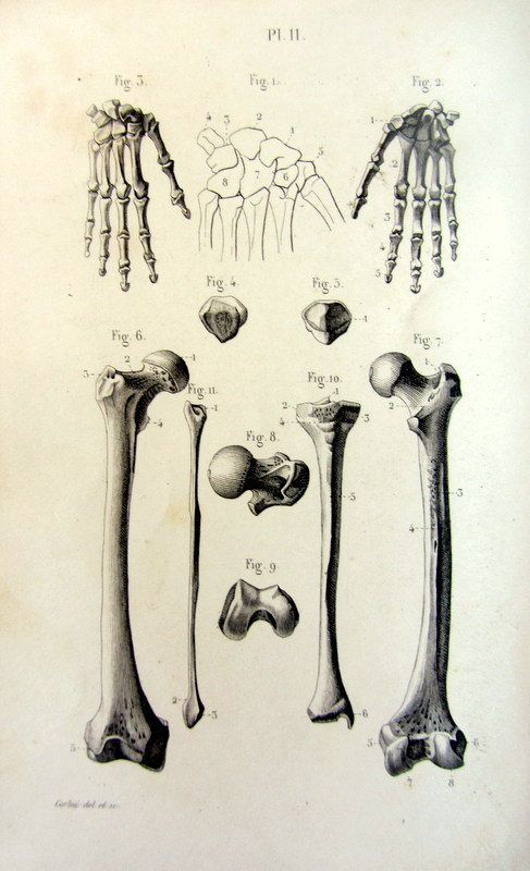 1846 anatomie antique d'impression de main et des os de LENG, original vintage rotule de Femur Tibia péroné, bizarrerie osseuse du squelette illustartion