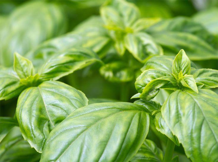 Les 66 meilleures images du tableau basilic tropical ou exotique basil ocimum basilicum ssp - Ou planter le basilic ...