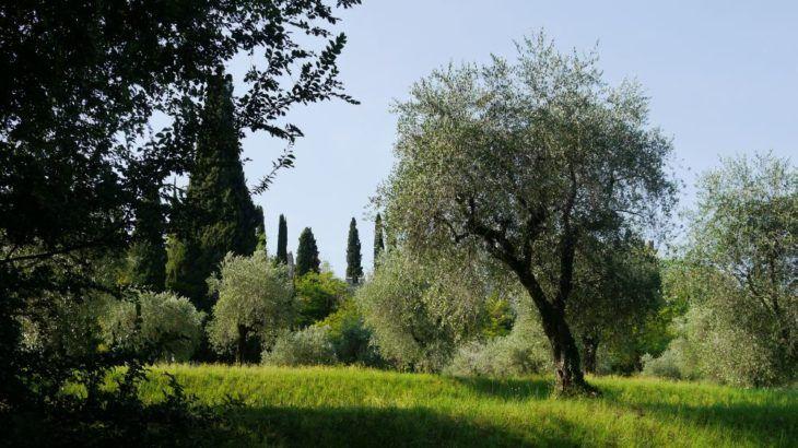 winterharte olivenb ume mediterrane pflanzen. Black Bedroom Furniture Sets. Home Design Ideas