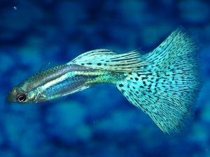 343 Best Images About Guppies On Pinterest Freshwater