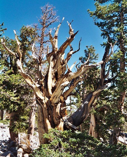 #140 of 365 Great Basin National Park is home to the oldest trees on earth the Bristlecone Pine. These trees can live up to 5000 years! They live in very high elevation and grow in extreme conditions usually around 10000 feet in elevation.  I had the opportunity to see these while doing the hike to see Nevada's only glacier in Great Basin. It was one of the most memorable hikes for me in the National Parks system.  Follow my journey through the National Parks with a new photo every day at…