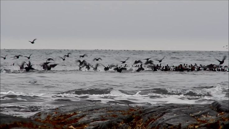 Black Scoters and Surf Scoters in the Surf, uncut video footage April 29...