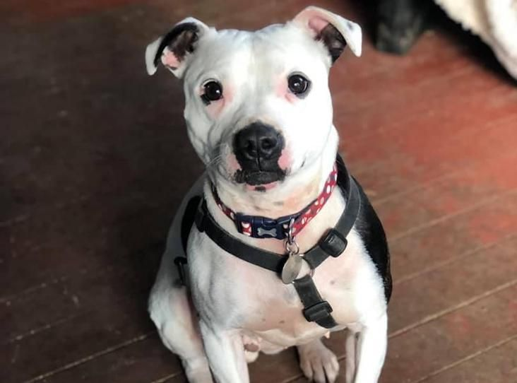 Skye Find A Pet Rspca Org Uk Rehome Dog Rehoming Staffordshire Bull Terrier