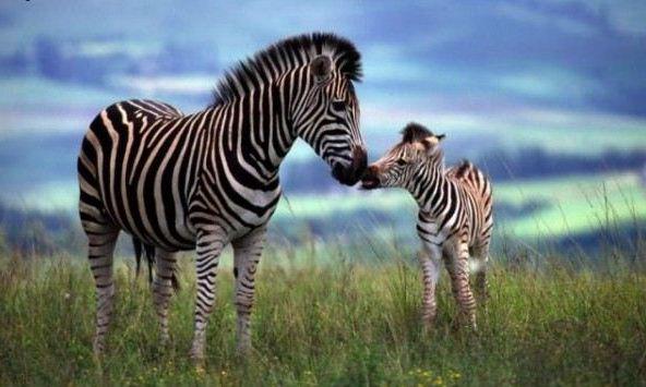 Zebra loveWild Animal, Zebras Baby, Mothers, Animal Kingdom, Baby Zebras, Furries Friends, God Creatures, Kisses, Adorable Animal
