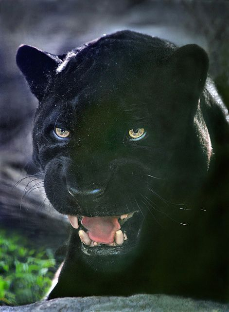 Black day ~ Orson, a black jaguar, passed away 4/23/2014 at the San Diego Zoo. The almost 22 year old cat served as the zoo's elder ambassador. This photo was taken a week before he died. RIP