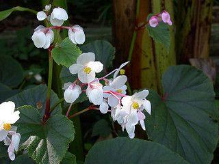Begonia grandis   by DC Tropics