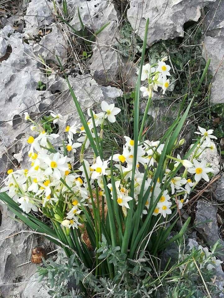 Syrian Wild Daffodils Growing Inside The Rocks زهور النرجس البري من الساحل السوري Daffodil Flower Daffodils Wild Flowers