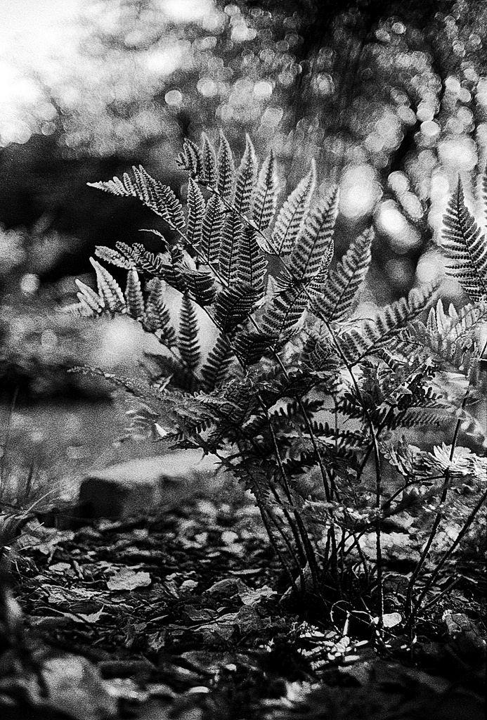 fern wonderland Minolta SRT-303 Minolta Rokkor 35mm f/1.8  Ilford HP5 developed with LC29 119 20deg 6.5min filmisalive filmcommunity filmphotography filmisnotdead buyfilmnotmegapixels staybrokeshootfilm ishootfilm analogue analoguephotography thefilmcommunity 35mmfilm blackandwhite blackandwhitephotography autumn forest itsfilmisntit ilford hp5