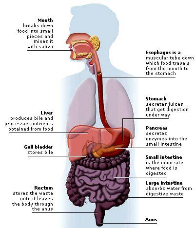 lab 9 digestive system part 1 anatomy Unit 9 digestive system -- digestive system diagram  unit 9 -- digestive system -- tooth anatomy  unit 4 part 1 tongue lab unit 4 part 1 papillae diagram.