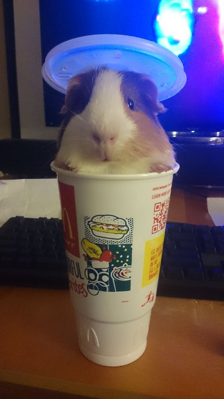 Guinea pig in a cup