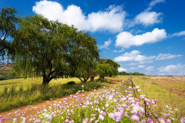 Eastern Freestate Cosmos Willow Tree Landscape   Fouriesburg, Eastern Freestate, South Africa