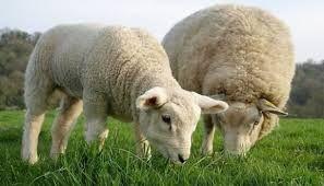 Resultado de imagen para ganado caprino argentino y lanar