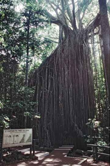 The Curtain Fig Tree (Ficus virens), its aerial roots like a curtain dropping 15 metres to the ground, 3 km from the small town of Yungaburra on the Atherton Tablelands. In 1992 you could walk inside its roots: not anymore.