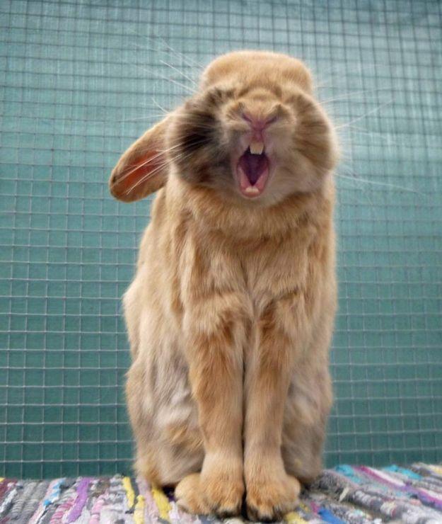 Yawning bunny. Sooo tired.