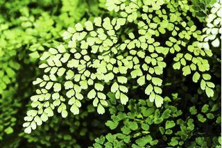 How To Care for a Lemon Button Fern (Nephrolepis Cordifolia) | eHow
