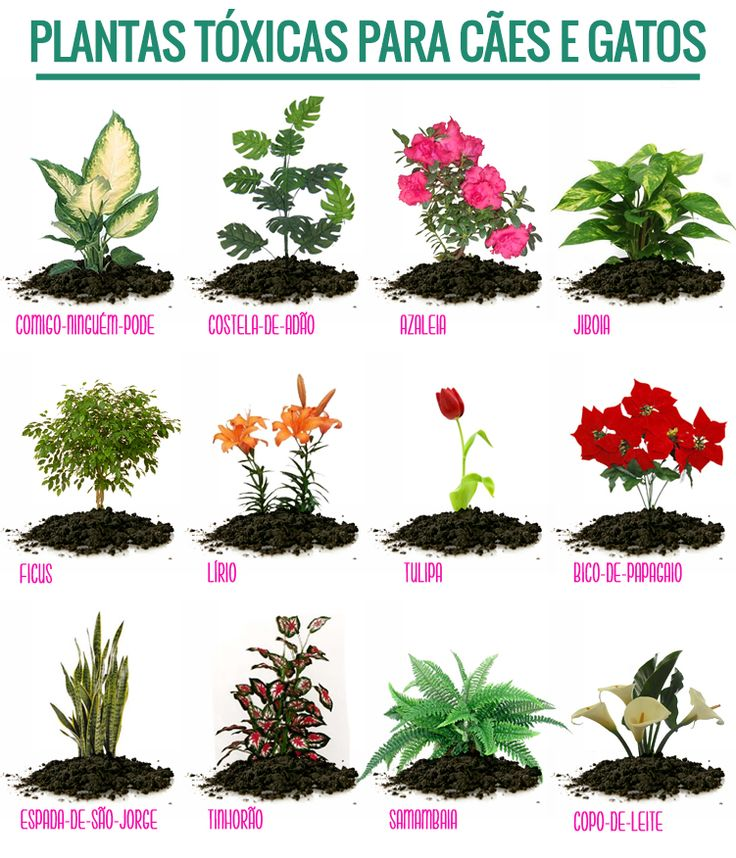Plantas Tóxicas para Cães e Gatos  For my Cat  Pinterest  Gatos