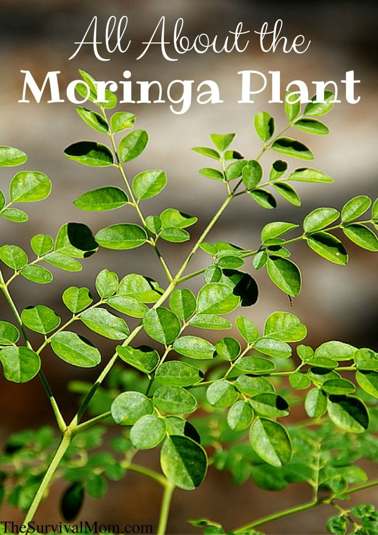 Luxury All About The Moringa Plant Survival Mom