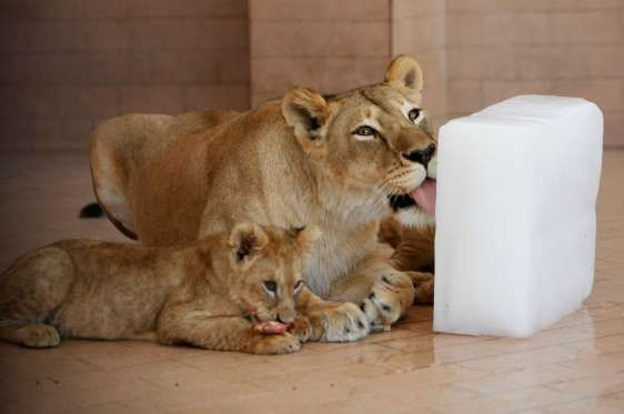 A lioness cools off by licking a slab of ice at a zoo in Lahore, Pakistan on Monday, May 16, 2016. M... - K.M. Chaudary/AP