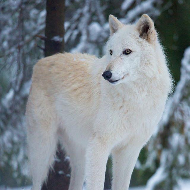 Pin By Goldendragonne On Histoire L Apel De L Alpha Woodland Park Zoo Dogs Fur Babies