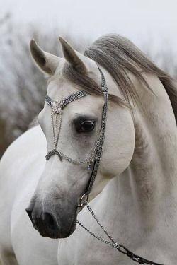 """shorenaratiani:  """"Beautiful Arabian horse  """""""
