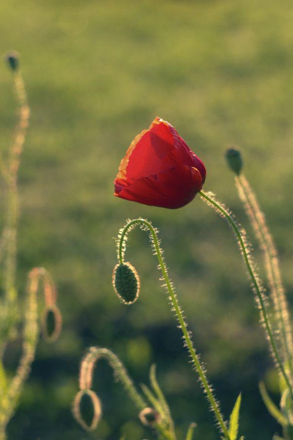 Poppy by Kuti Gergő on 500px