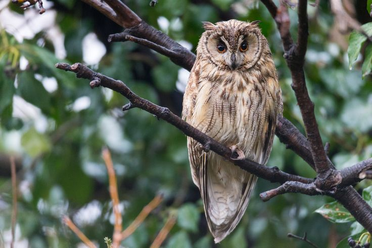 Photographing Long eared owls in Bulgaria