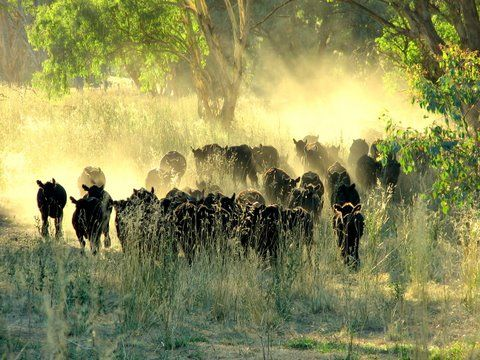 Black Angus on a cattle station in NSW, Australia