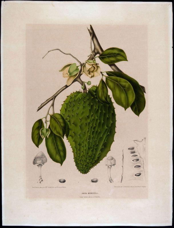 Feuille, fleur et fruit de corossol